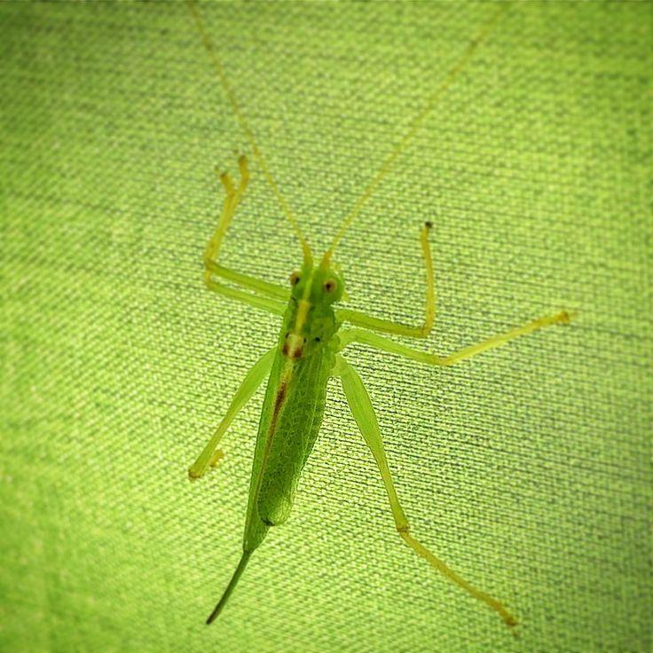 #grashüpfer #grasshopper #nature #heuschrecke #insekten