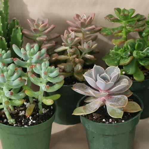 SUCKULENTER i gruppen Krukväxter / Kaktusar och suckulenter hos Impecta Fröhandel (925)