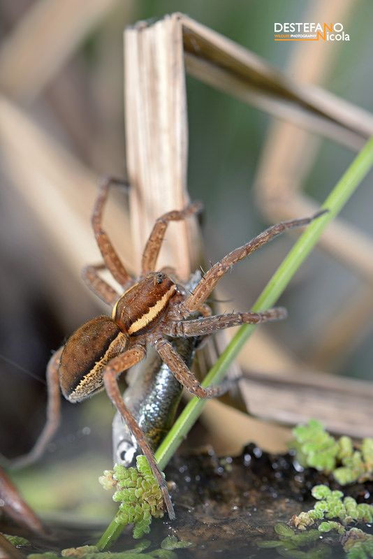 https://flic.kr/p/Ht8bXt | Raft spider and its prey | Ragno pescatore (Dolomedes fimbriatus), Raft spider