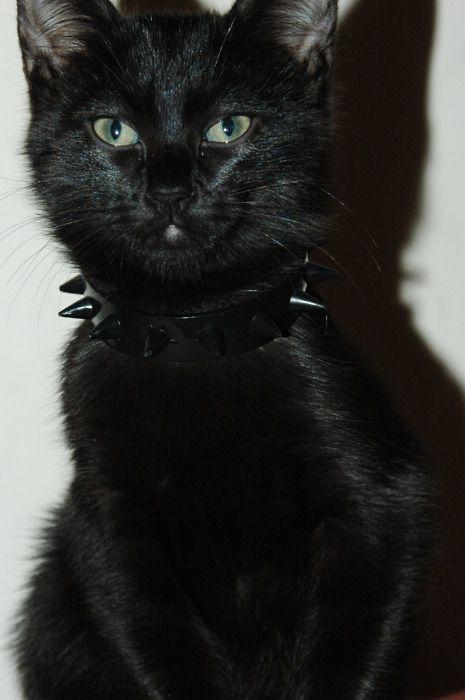 badass kitty is badass.: Chat Noir, Babypuma Blackcatsarethebest, Spikes Collars, 3Black Cat, Cat Cat, Cat Faces, Cat Stuff, Fashion Cat, Baby Cat