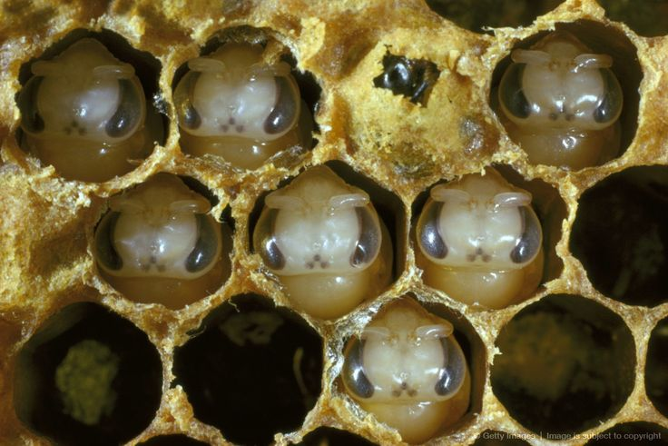Awww look at their little faces..  Image detail for honey bee (apis mellifera) worker bee pupae, caps removed from cells
