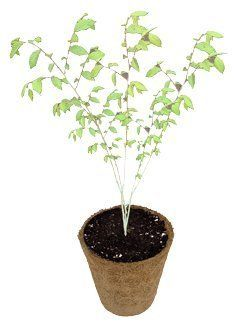 """DuneCraft Grow Your Own Tree-Elm by DuneCraft. $8.89. 100% natural. sprout and plant in biodegradable pot. easy to grow. Siberian Elm Tree. Sprout and grow your own Siberian Elm Tree. Siberian Elms grow quickly and display interesting shape, bark, and foliage including dark green, oval, toothed leaves. These rugged trees have a shrubby or treelike shape, and can spread up to 50 feet in their natural environment. This """"green"""" kit comes complete with everything needed to..."""