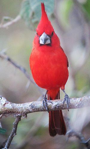 Vermilion Cardinal by felixú