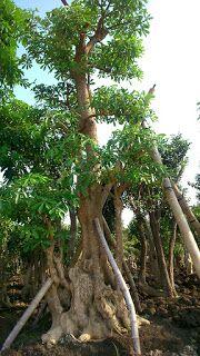 Jual Pohon Pulai   Jual Bibit Pohon Pulai   Grosir Pohon Pulai   Jual Pohon Pulai BOnasai   Jual Pohon Pulai Besar   Agen Pohon Pulai   Supplier Pohon Pulai  Rindu Taman  081297234597 ~ Tukang Taman   Jasa Tukang Taman Murah   Jasa Pembuatan Taman   Jual Tanaman Hias   Jual Rumput