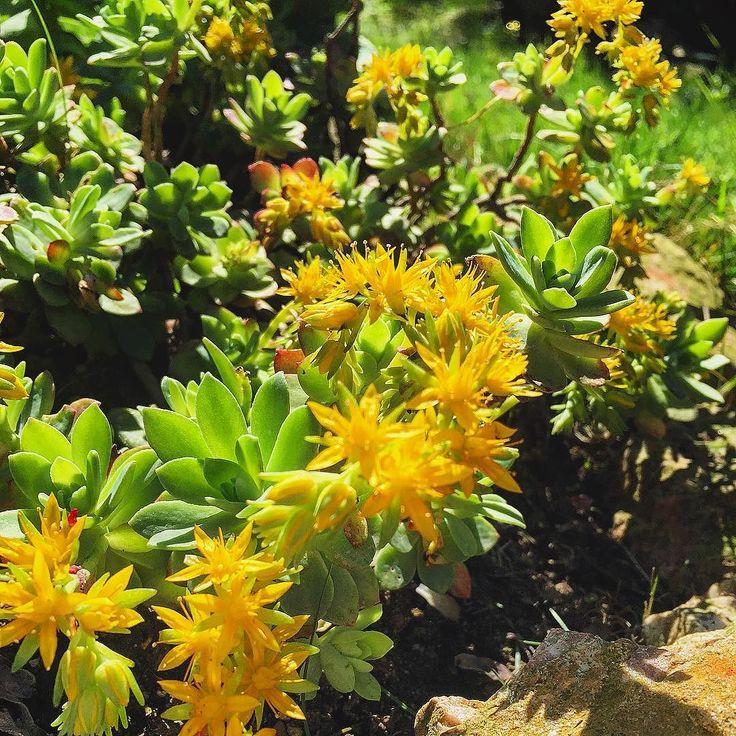 Sedum Palmeri #bahçe #plants #flowers #instadoğa #instanature #instasucculent #instanaturelover #ilkbahar #sukulent #succulents #spring #succulentlove #damkoruğu  #sedum #instaflower by gokcekucukyazici