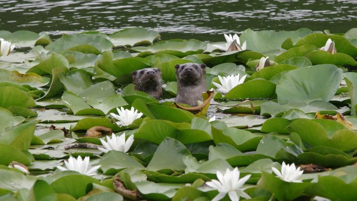 Riverside encounter with an otter and her young - Democratic Underground