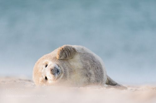 creatures-alive:  young grey Seal by Holger Hübner