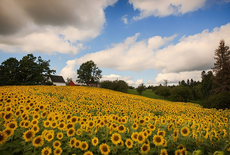 Sunflower Fields Forever. Moncton, New Brunswick, Canada.