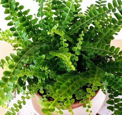 "Amazon.com : Hirt's Lemon Button Fern 4"" Pot - Nephrolepis cordifolia Duffii : Plant Seed And Flower Products : Patio, Lawn & Garden (each $4.99)"