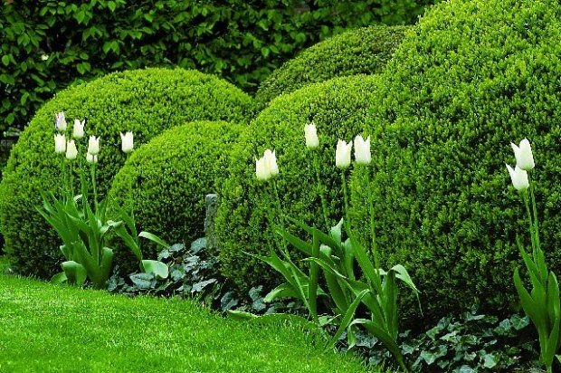 Bukszpan - Buxus sempervirens. Przycięty w kule bukszpan. Jest efektowny przez cały rok, a poza tym na takim tle doskonale prezentują się sezonowe rośliny