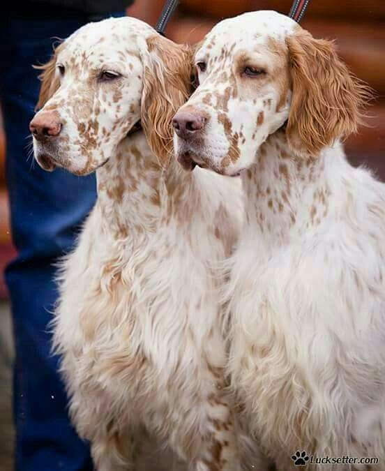 essay english setter Llewellin setters online, most informative llewellin setter website on the internet a must read before you purchase pure dashing bondhu imported.
