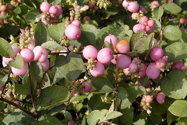 49 besten rosa garten bilder auf pinterest g rtnern landschaftsbau ideen und garten terrasse - Gartenpflanzen straucher ...