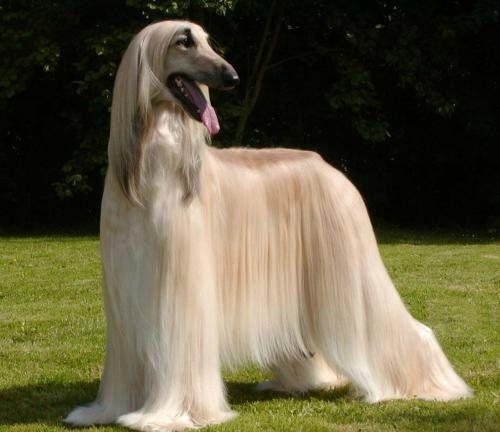 galgo afgano perro elegante y docil