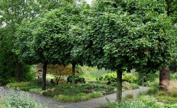 Der Kugelahorn (Acer platanoides 'Globosum') gehört zu den am häufigsten anzutreffenden Kleinbäumen. Im Alter kann er bis zu sechs Meter hoch werden und eine Kronenbreite von fünf Metern und mehr erreichen. Der Kugel-Ahorn kommt sowohl auf trockenen, normalen sowie frischen Böden zurecht. Ideal ist ein sonniger bis halbschattige Standort.