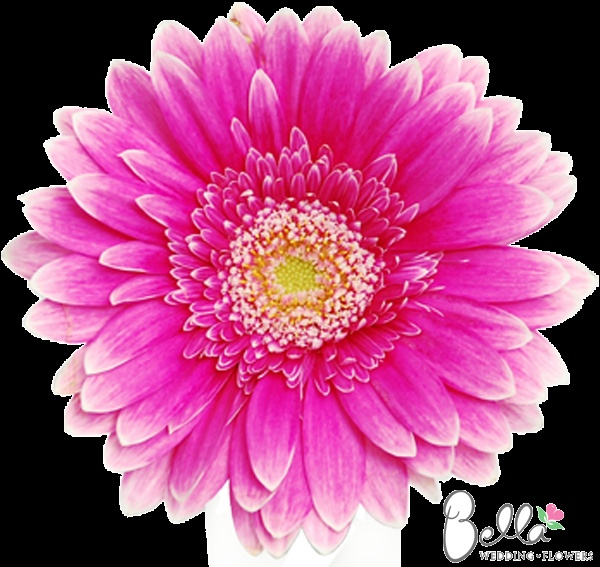 Most Popular Flowers 34 best gerbera daisies images on pinterest | gerbera daisies