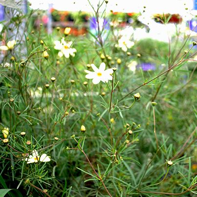 The Moonbeam #Coreopsis bears loads of starry creamy-yellow daisies! For more details on this coreopsis, click on the photo or visit us at: http://www.sheridannurseries.com/products_and_services/product_selection/sheridan_garden_classics/forever_classic_garden