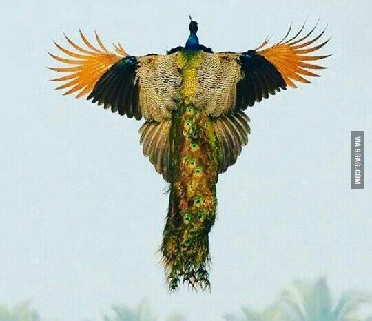 A rare image of a peacock flying.. - www.viralpx.com