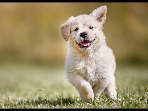 Funny Golden Retriever Puppies Compilation Of Week - Best of 2017