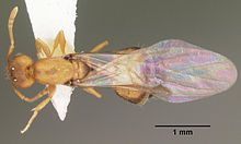 Pharaoh ant - Wikipedia, the free encyclopedia