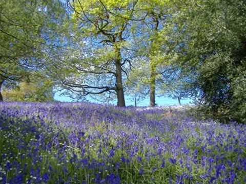 bluebell wood england | bluebell wood at lea in derbyshire , early may . alison uttleys ...