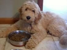 miniature goldendoodle full grown