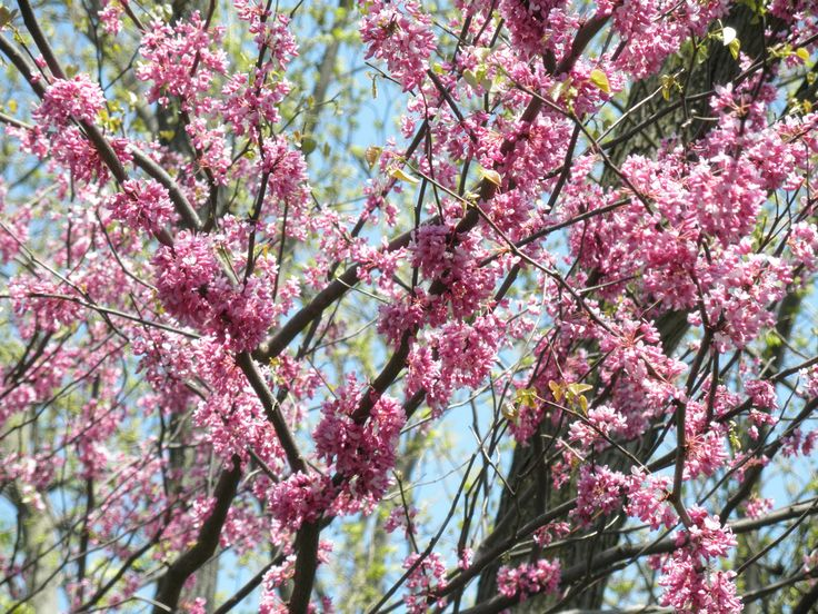 Eastern Redbuds bloom early spring. Gorgeous pink flowers.