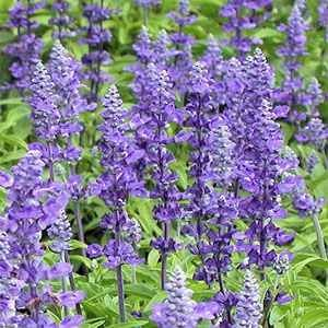 Salvia farinacea, or commonly known as Salvia or Mealy Cup Sage, is very attractive to beneficial insects and hummingbirds. A perennial, this varie...