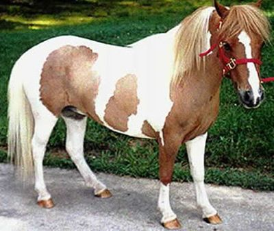 Falabella – I cavalli in miniatura!