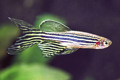 17 best images about tetras danios rasboras on pinterest for Longest living fish