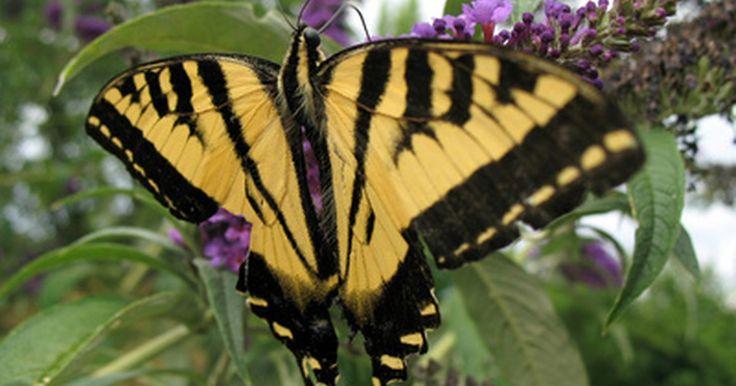 Cómo preservar una colección de mariposas. Coleccionar mariposas puede ser divertido y educacional. Seas un coleccionista novel o un entusiasta antiguo, querrás preservar tu colección de mariposas. Si no lo haces apropiadamente, las mariposas se pueden desteñir, romper, se las pueden comer otros insectos o se pueden llenar de moho. Las puedes preservar para exponerlas, para hacer joyas ...