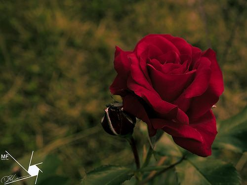 Rose | by Munns Foto