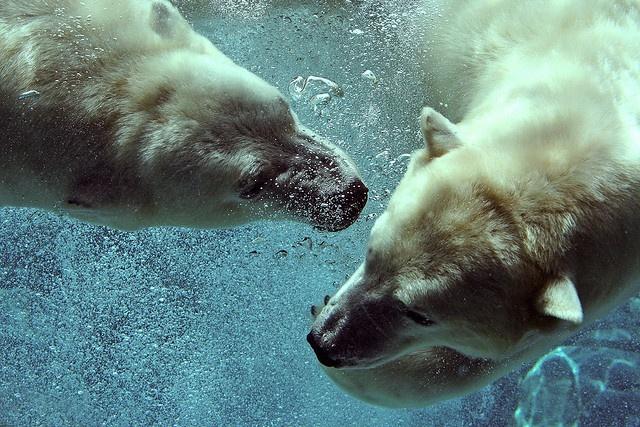 .: Bears Bears, Animal Lovers, Polar Bears, Mark Philpott, Polarbear, Favorite Animal, Funny Animal, Photo, Wild Mammals