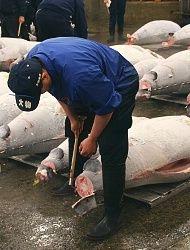 Tokyo Travel: Tsukiji Fish Market