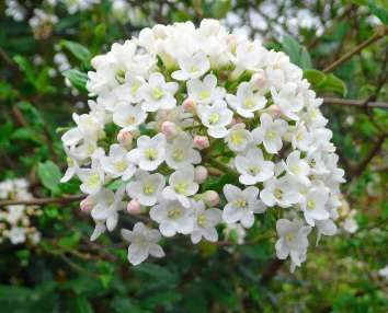 Viburnum x carlcephalum flowers late winter early spring with sweet smell and lovely blooms