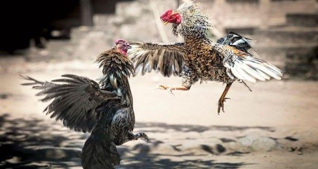 Tajen Bali Cockfighting #baliaround