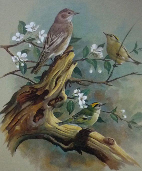 1970s Basil Ede bird print  spotted Flycatcher by PrimrosePrints, £10.00