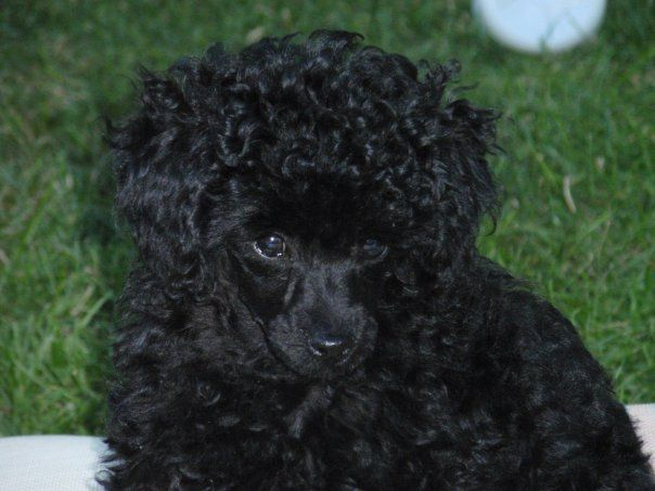 Black toy poodle puppy names