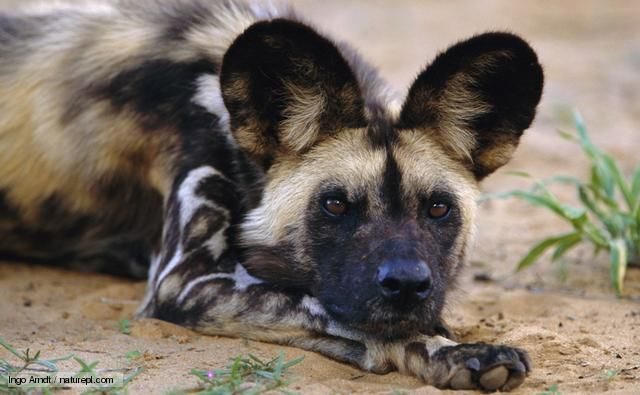 African Wild Dog- One of the world's most endangered animals