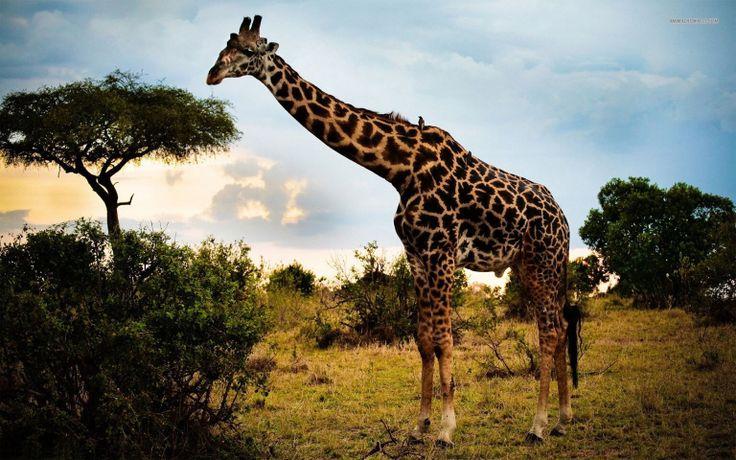 Giraffe Picture Wallpapers For Desktop