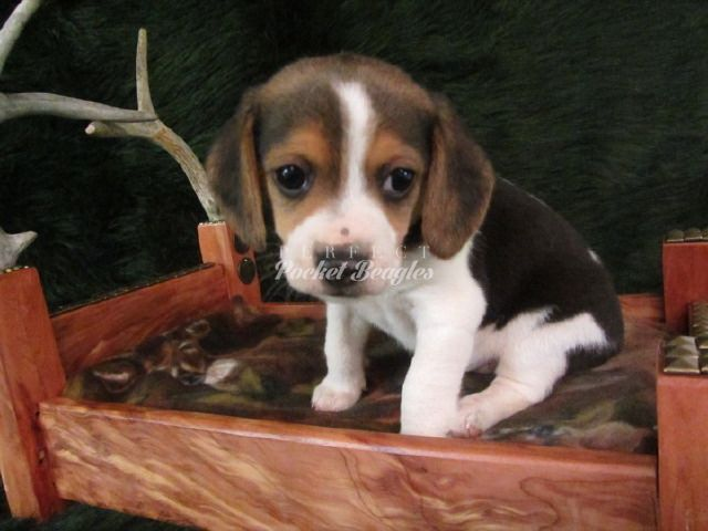 Pictures of our beautiful Olde English Pocket Beagles.