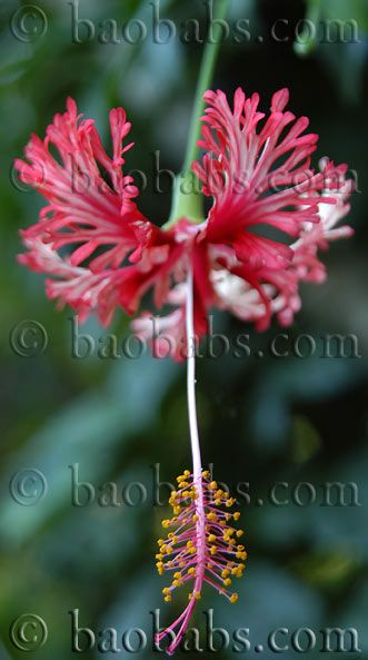 Hibiscus schizopetalus - For sale - Click on the picture to see more.