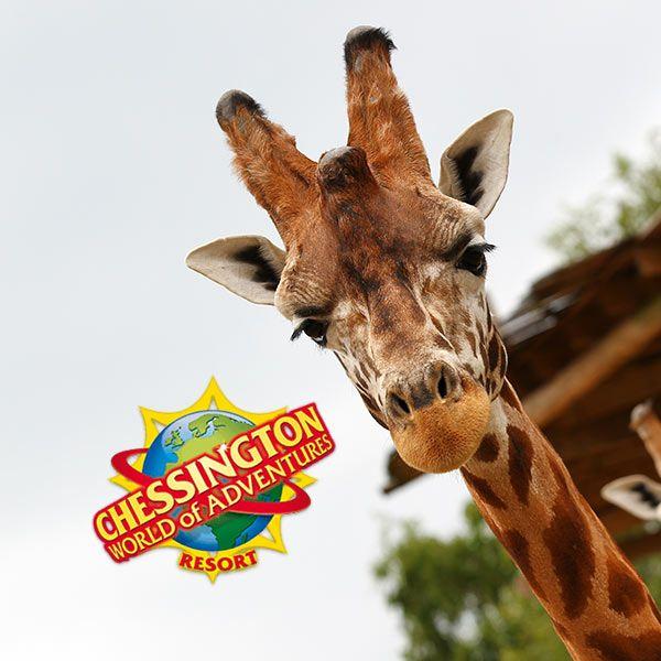 Giraffe at Chessington