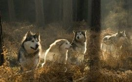 Cães de Caça - papel de parede para download