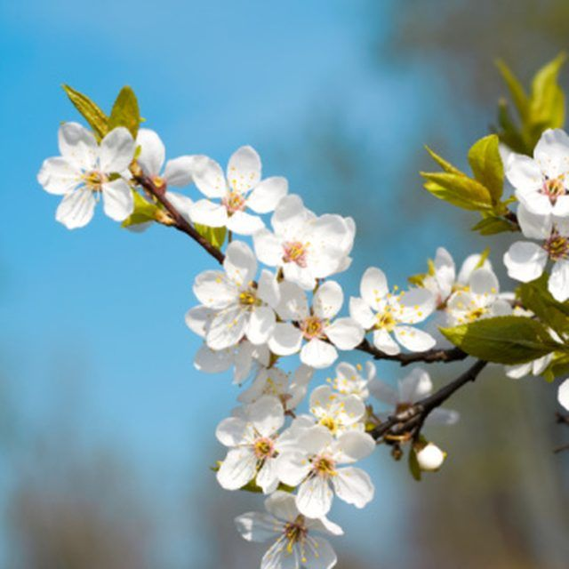 Types of Flowering Pear Trees