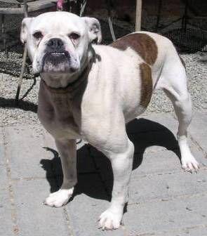 Bulldog dog for Adoption in Yucaipa, CA. ADN-563402 on PuppyFinder.com Gender: Female. Age: Adult
