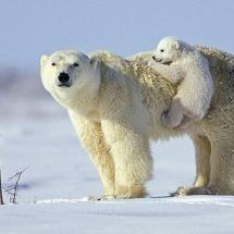 Polar bearsBears Hug, Baby Al Animal, Bears Plays, Mothers Life,  Thalarcto Maritimus, Baby Polar Bears, Ice Bears, Bears Climbing, Precious Baby Al