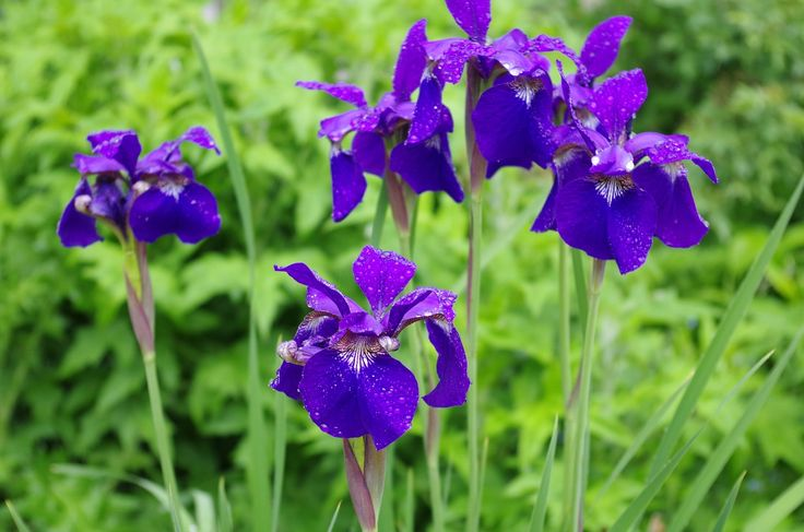 Siberian iris (iris sibirica) in the Edwardian Garden