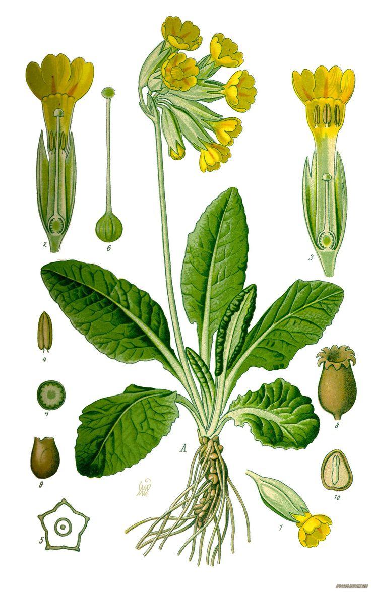 botanische illustration rhinanthus - Google Search