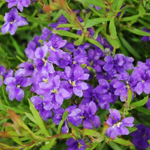 "<p> <span style=""font-style: italic;"">Dampiera diversifolia</span><br /> <br /> Dampiera is a native ground cover with masses of royal purple flowers in spring and summer. Ideal for rockeries and borders, but also for pots and containers (use Australian native potting mix).  Prefers a full sun to part shade position, in well drained soil.%2..."
