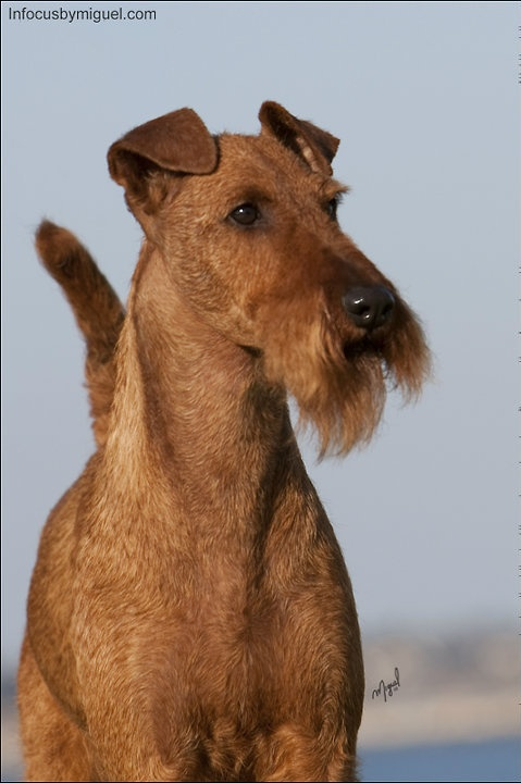 Irish Terrier dog art portraits, photographs, information and just plain fun. Also see how artist Kline draws his dog art from only words at drawDOGS.com #drawDOGS http://drawdogs.com/product/dog-art/irish-terrier-dog-portrait-by-stephen-kline/ He also can add your dog's name into the lithograph.